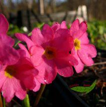 1 Rosenprimel pink leuchtender Frühlingsbote Teichrand