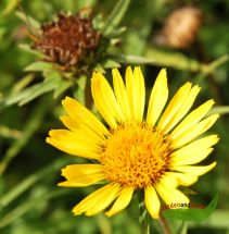 5 Stauden Pfl. für eine bunte Blumenwiese Trockenrasen