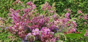 4 Stauden Pfl. zur Freude von Schmetterling und Mensch