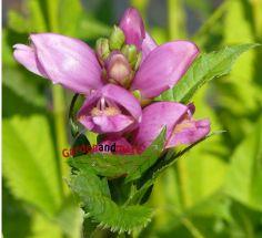 rosa Schlangenkopf Chelone obliqua mehrjährtige Staude
