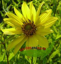 Mehrjährige Sonnenblume Helianthus Lemon Queen zitrone