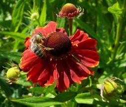 Mädchenauge Helenium rote, reichblühende Beetstaude