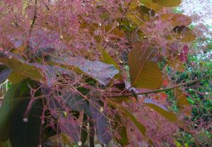Perückenstrauch Cotinus rotblättriger Zierstrauch