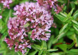 Zwergoregano,  niedere Duftstaude mit reicher Blüte