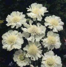 Schmetterlingsblume White Papillon zauberhaft und robust