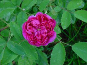 echte Öl - Rose, Rose de Resht