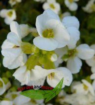 2 Gänsekresse Arabis caucasica weiß Polsterstaude