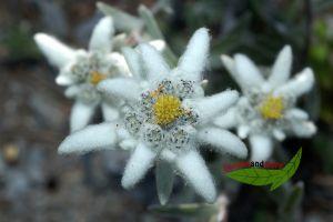 echtes Edelweiß, Leontopodium alpinum, Liebhaberpflanze