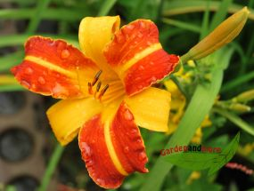 extra Taglilienpflanze wie Curry mit Paprika