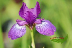 Iris sibirica Red Flare weinrot Wieseniris grazil