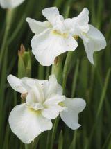 weiße Wieseniris White Swirl, Iris sibirica großblumig