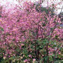 Wiesenraute lilarosa zarte Blüten Teichrand Blumenwiese