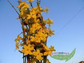 winterjasmin Jasminum nudiflorum gelbe Blüten