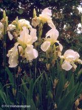strahlende Bartiris Schwertlilie in weiß Iris imortelle