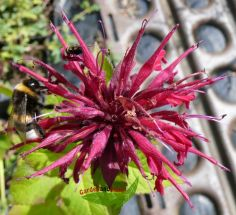 violette Indianernessel Monarda Donnerwolke duftend