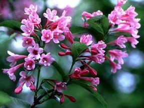 rosablühende Weigela, Zierstrauch, 2 mal blühend