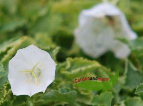 Karpatenglockenblume weiß Steingartenpflanze