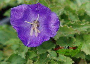 Karpatenglockenblumen blau Steingartenpflanze