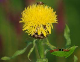 1 Goldkornblume, Centaurea macrocephala Solitärstaude