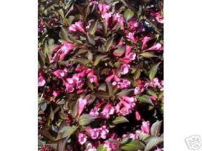 reizende Weigelie mit rotem Blatt, rosa Blüte