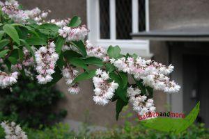 Kalmiendeutzie Deutza kalmiiflora rosa Zierstrauch60-80