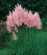reichblühendes Pampasgras, dicke rosa Wedel