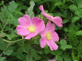 Prärierose schön und robust Rosa carolina