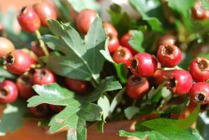 Crataegus monogyna Weißdorn Wildobst Heilpflanze 60/100