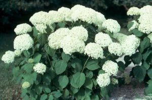 Hortensie Annabell weiß, sicher in der Blüte großblumig