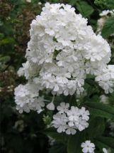 Hohe Flammenblume Phlox in strahlendem Weiß Fujiyama