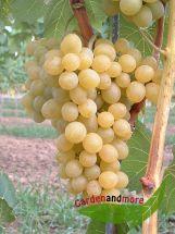 goldgelbe Wein Traube Suzi lecker und robust, wüchsig