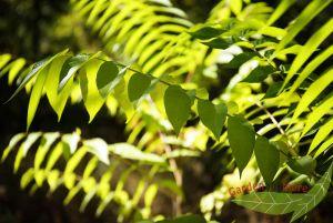 Götterbaum Bienen-Esche Ailanthus altissima Bienenfutter