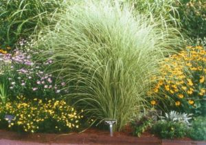 4 Gräser (Pflanzen) für beschwingte Gärten\\