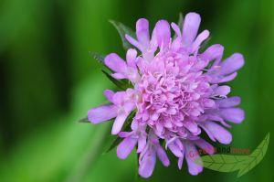 Taubenscabiose, Schmetterlingsblume in lavendelrosa, mehrjährige