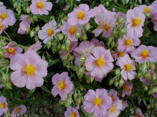 Der sommerliche steingarten 6 stauden pflanzen versand for Gartenpflanzen versand