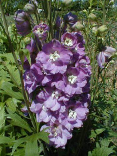 Schmetterlingsblume in lavendelrosa Taubenscabiose mehrjähriger Sommerblüher