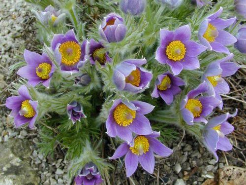 Küchenschelle Blütezeit ~ violette küchenschelle frühblühende rarietät pflanzen versand baumschule mit onlineshop