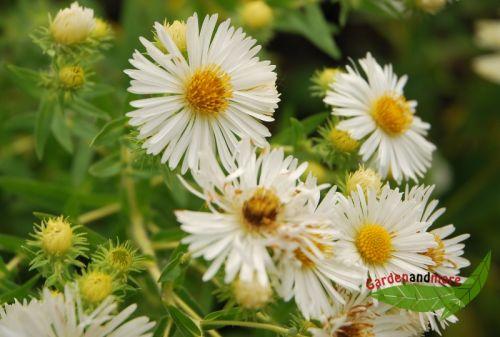 Hohe Herbstaster Herbstschnee Weiss Dankbarer Bluher Pflanzen