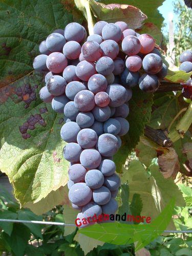 Blaue kernlose weintraube venus die beste blaue gesund for Weintrauben im garten anbauen