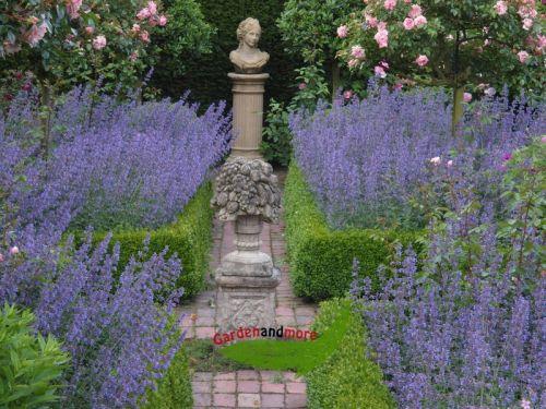 1 blaue katzenminze rosenbegleiter katzenfreund nepeta pflanzen versand baumschule mit. Black Bedroom Furniture Sets. Home Design Ideas
