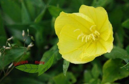 3 texas nachkerze steingartenpflanze mit gelben bl ten pflanzen versand baumschule mit. Black Bedroom Furniture Sets. Home Design Ideas