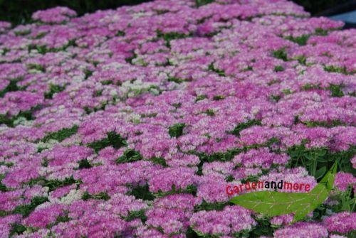 rosa fetthenne carmen staude vertr gt trocken halbh pflanzen versand baumschule mit. Black Bedroom Furniture Sets. Home Design Ideas