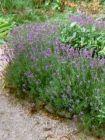 6 Lavendel (schöne Pflanzen)  duftend