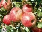 Apfel Baum Pinova, haltbarer Lagerapfel naturgesund