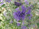Bartblume Dark Night - leuchtend Blau wie die Nacht
