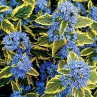 Bartblume Summer Sorbet, blaue Blüten in farbigem Laub(R)