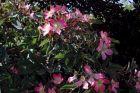 blaue Hechtrose Rosa glauca