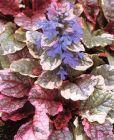 Burgundergünsel bunte Blätter, blaue Blüten