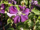 Clematis Etoile Violette Rarität