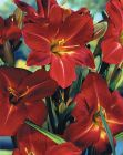 Hemerocallis Galena Holiday rote Sensation Taglilie Co